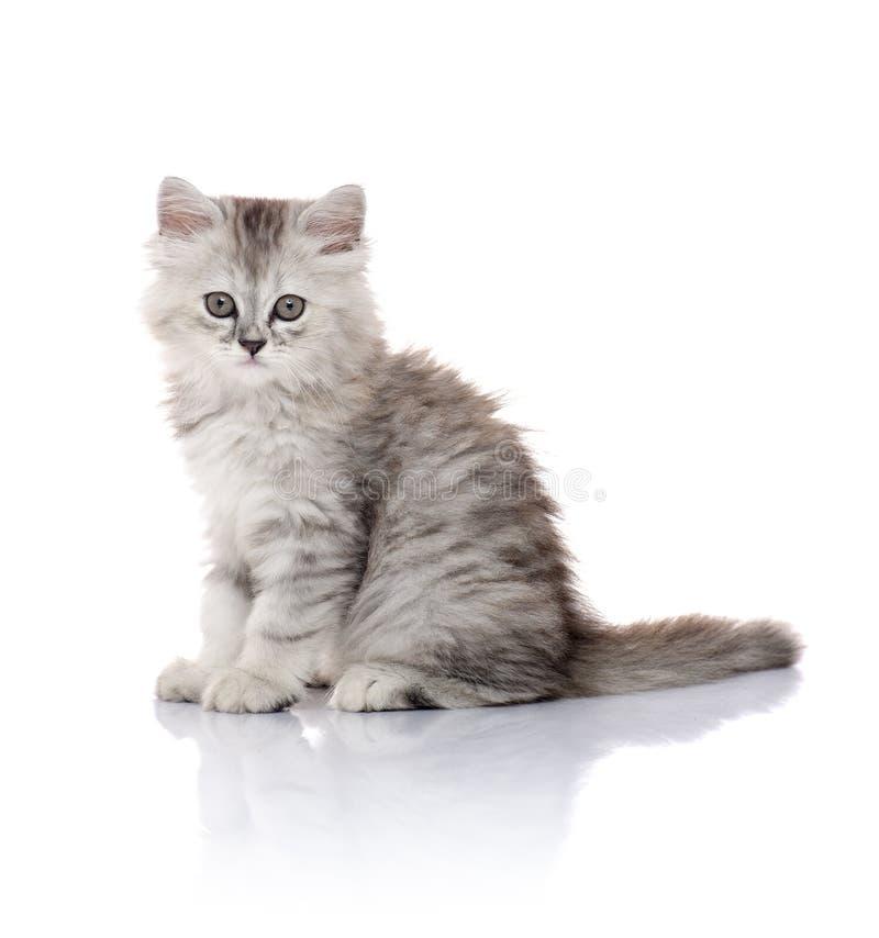 Gatito peludo joven hermoso en el fondo blanco fotografía de archivo