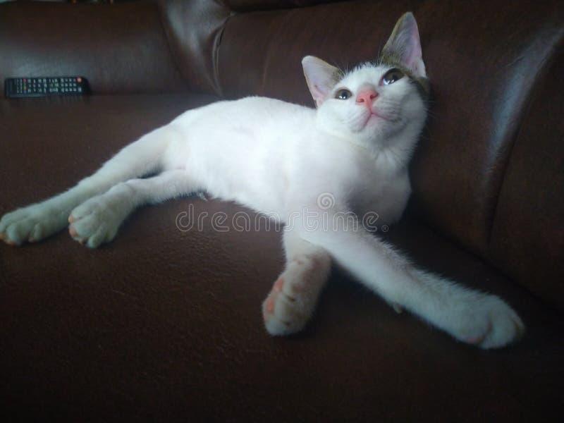 Gatito perezoso fotografía de archivo