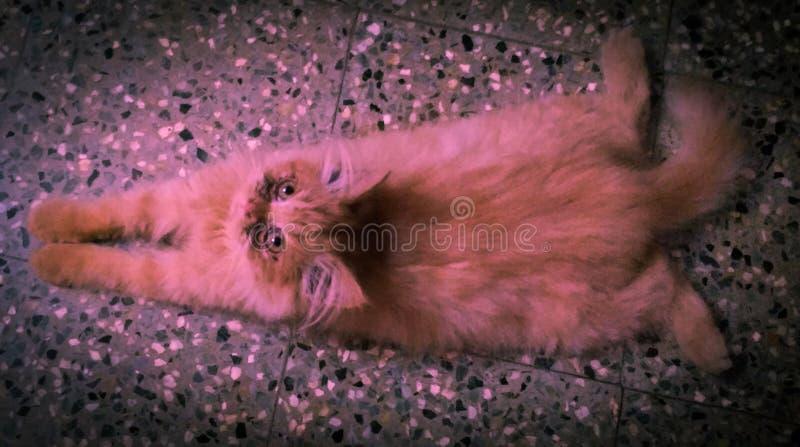 Gatito perezoso imagen de archivo