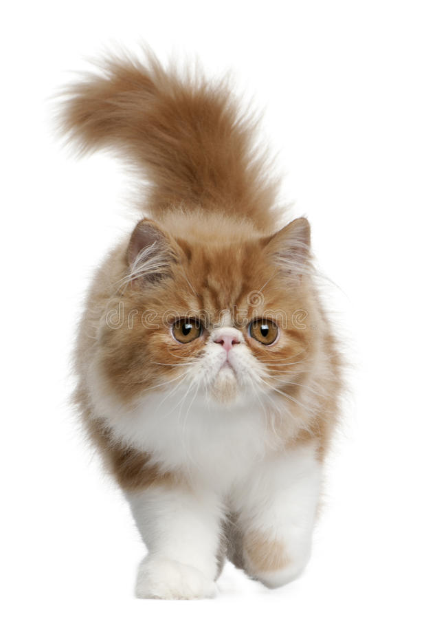 Gatito persa, 3 meses, recorriendo imagenes de archivo