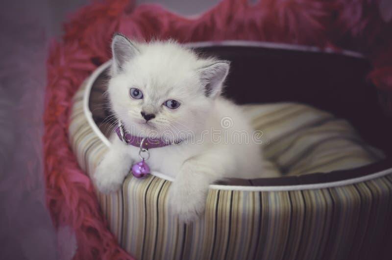 Gatito persa blanco del shorthair con los ojos azules que se sientan en cama en un fondo rosado que mira la cámara imagen de archivo libre de regalías