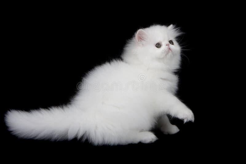 Gatito persa blanco en fondo negro imagen de archivo