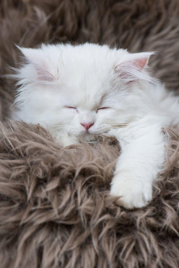Gatito persa blanco en una piel de las ovejas fotografía de archivo libre de regalías