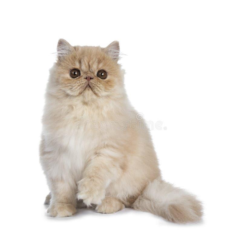 Gatito poner crema mullido del gato persa, aislado en el fondo blanco fotos de archivo libres de regalías