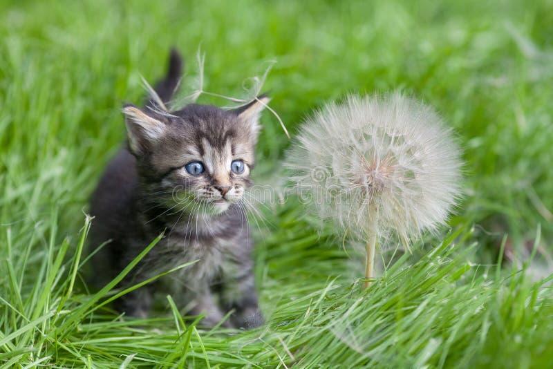 Gatito que camina en la hierba imagen de archivo libre de regalías