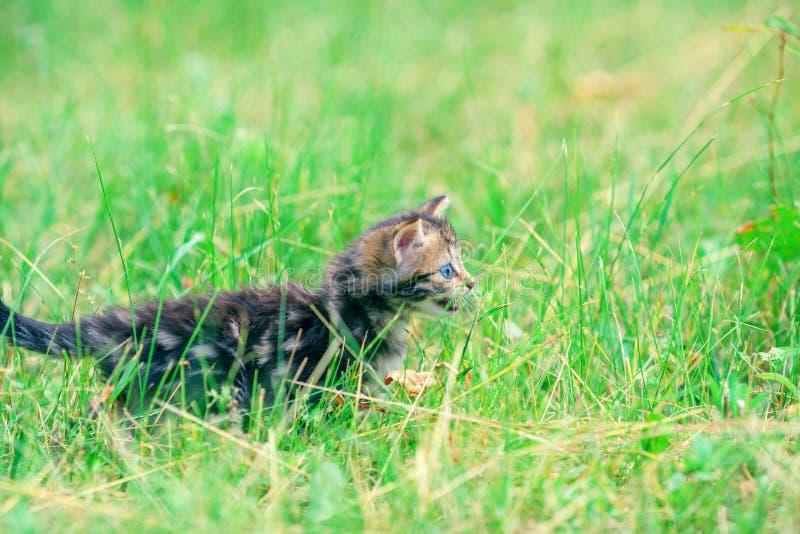 Gatito que camina en la hierba foto de archivo