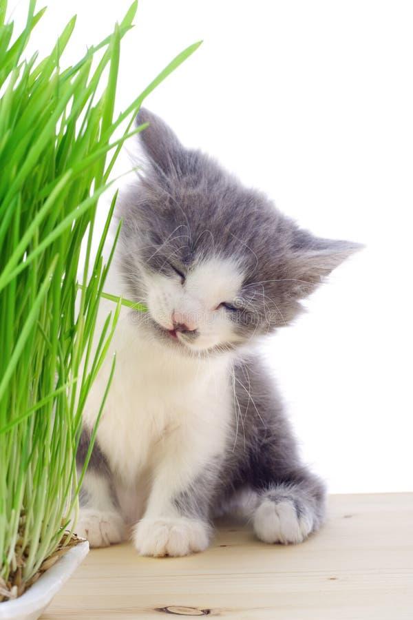 Gatito que come la hierba fotografía de archivo libre de regalías