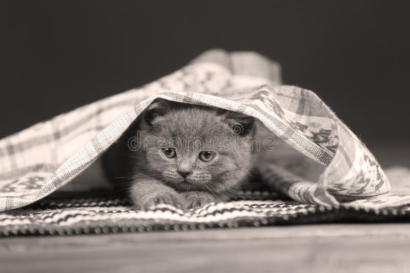 Gatito que oculta debajo de un pequeño paño imagen de archivo libre de regalías