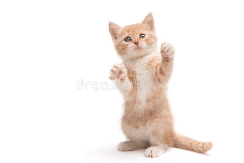 Gatito que se coloca que juega foto de archivo libre de regalías