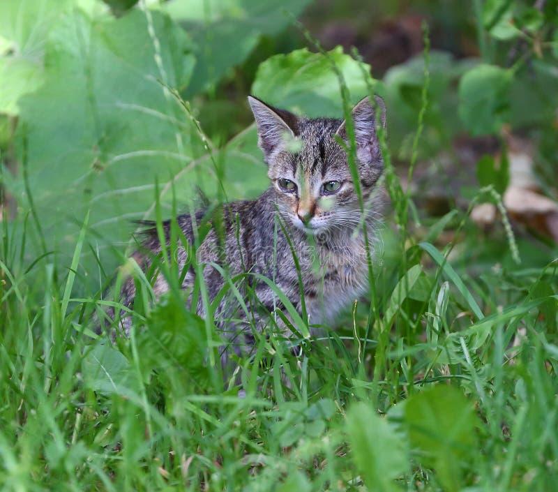Gatito rayado gris que se sienta en la hierba verde fotografía de archivo libre de regalías