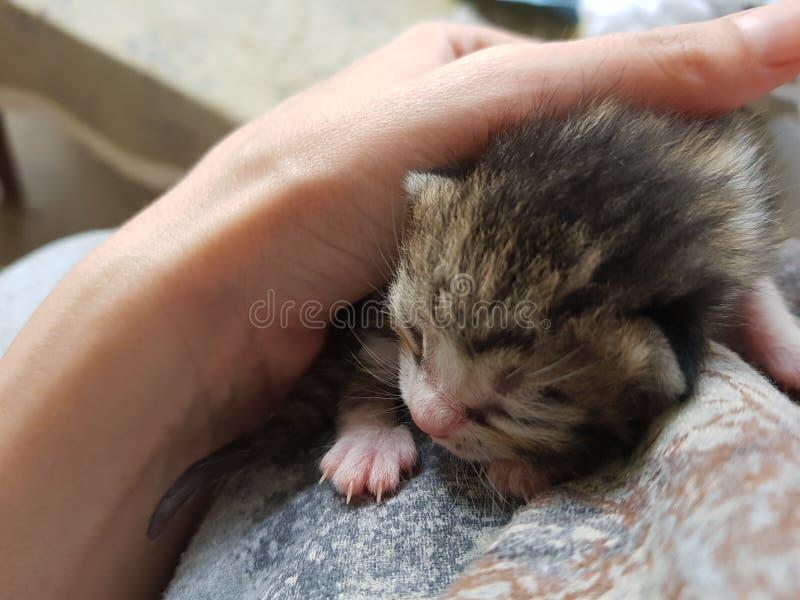 Gatito rayado gris recién nacido que duerme en un suéter, poco gatito en una mano femenina imagen de archivo libre de regalías