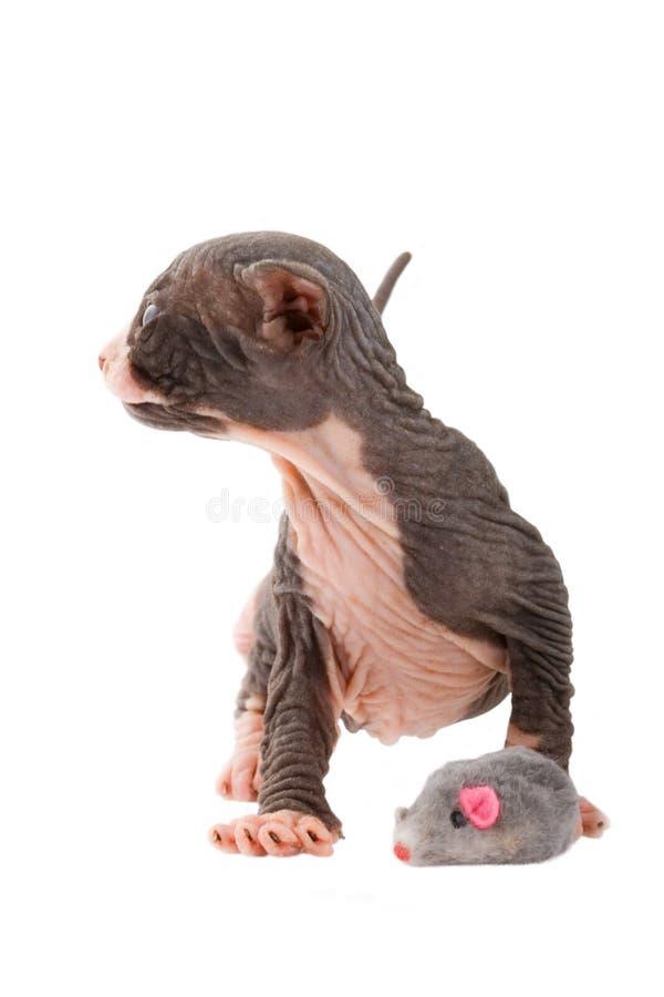 Gatito recién nacido de la esfinge imagen de archivo libre de regalías