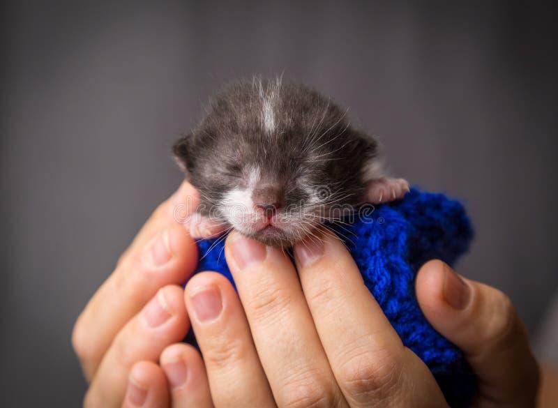 Gatito recién nacido gris en manos de la mujer fotos de archivo libres de regalías