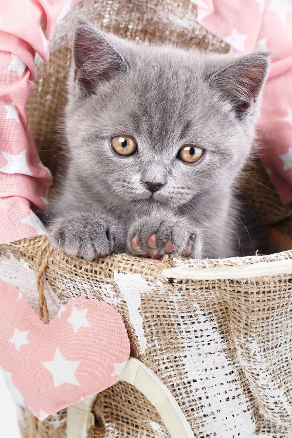 Gatito recto escocés El gato gris se sienta de lado Mirada divertida, peluda del gatito de cerca foto de archivo