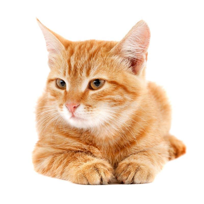 Gatito rojo foto de archivo libre de regalías