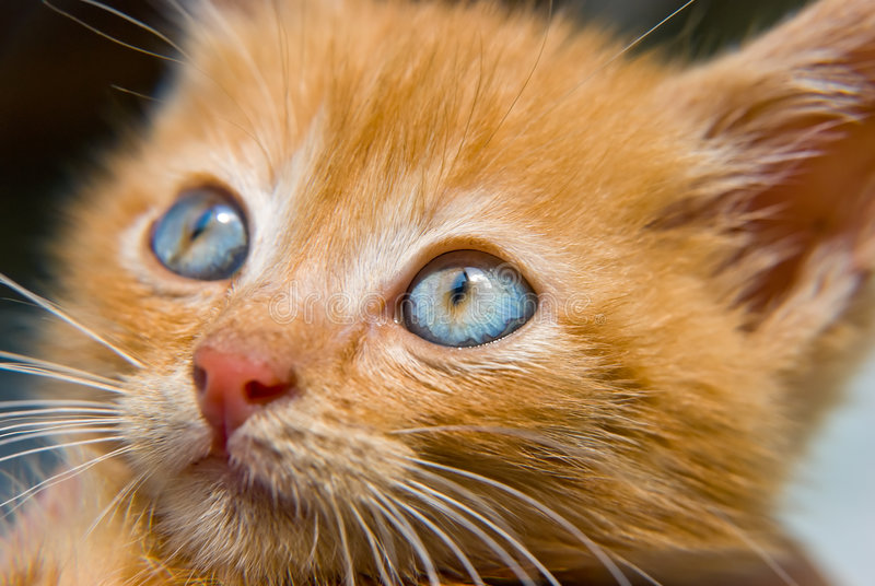 Gatito rojo fotos de archivo