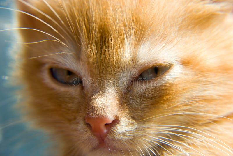 Gatito rojo foto de archivo