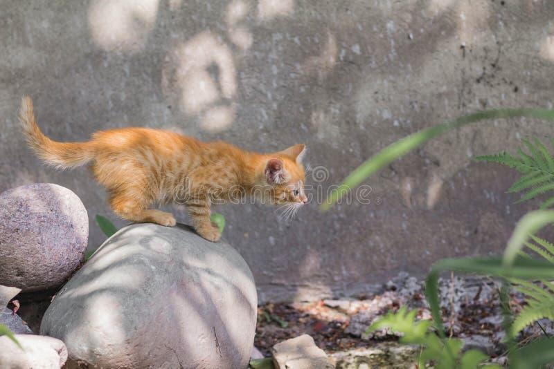 Gatito rojo en una piedra en un día de verano soleado en el parque En crecimiento completo el gatito est? listo para saltar fotos de archivo