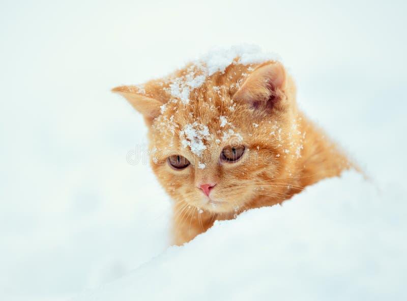 Gatito rojo que camina en nieve profunda fotos de archivo libres de regalías
