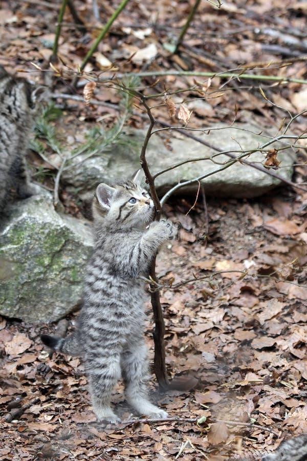 Gatito salvaje europeo del gato fotografía de archivo libre de regalías
