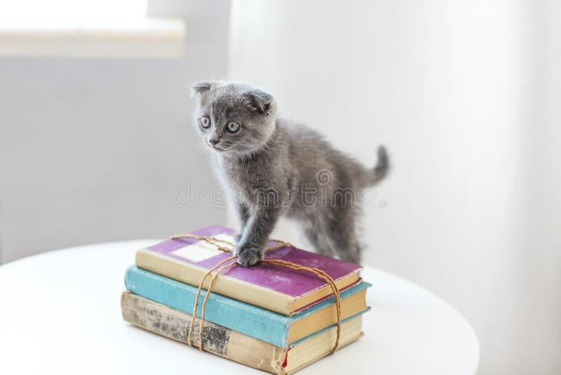 Gatito scotish gris precioso que se sienta en la pila de libros en el l fotografía de archivo