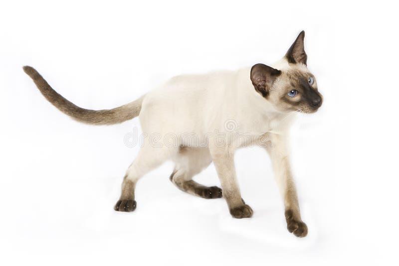 Gatito siamés foto de archivo libre de regalías