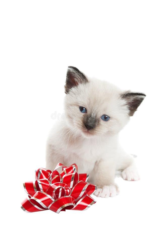 Gatito siamés con el arqueamiento foto de archivo libre de regalías