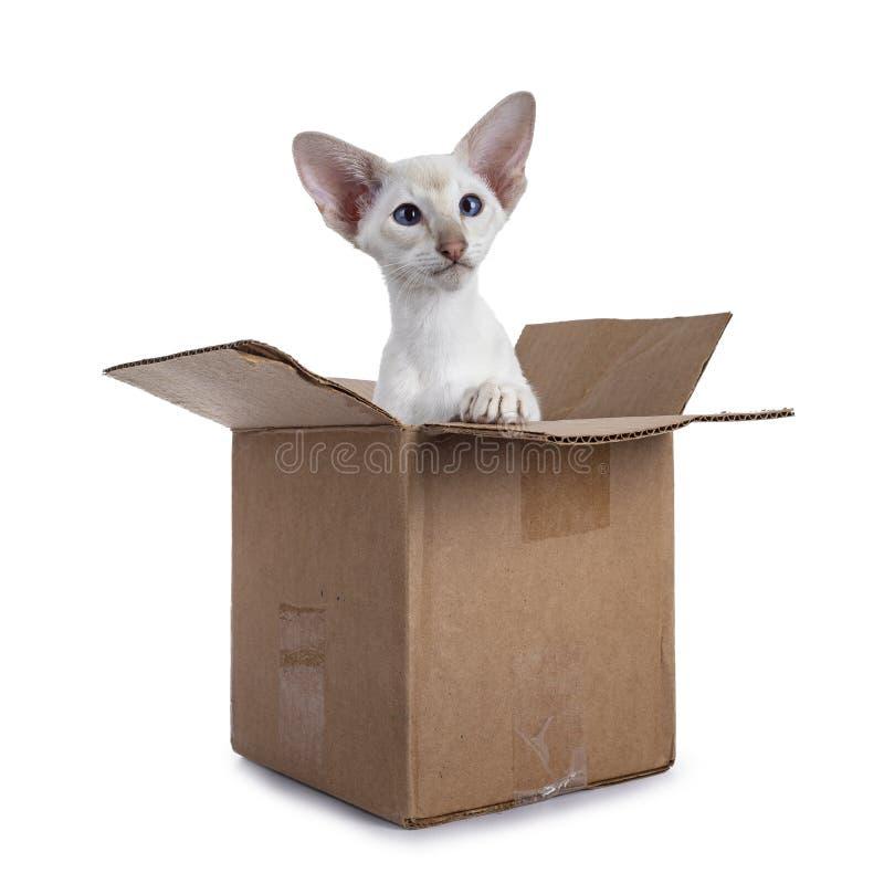 Gatito siam?s en caja en el fondo blanco imagen de archivo libre de regalías