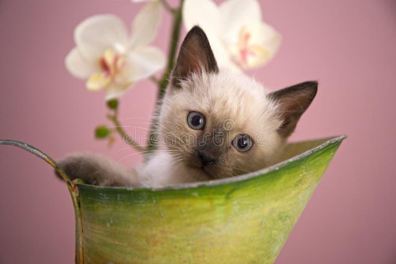 Gatito siamés en un cubo fotografía de archivo