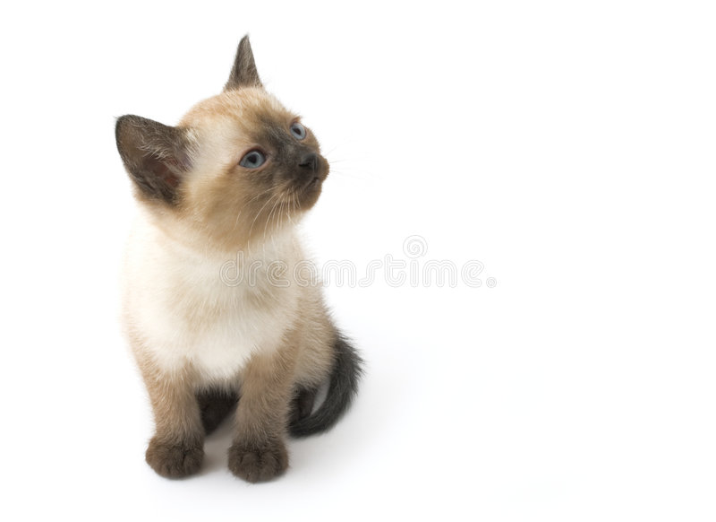 Gatito siamés interesado lindo fotografía de archivo libre de regalías