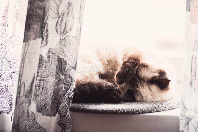 Gatito siamés que duerme detrás de las cortinas imagen de archivo libre de regalías