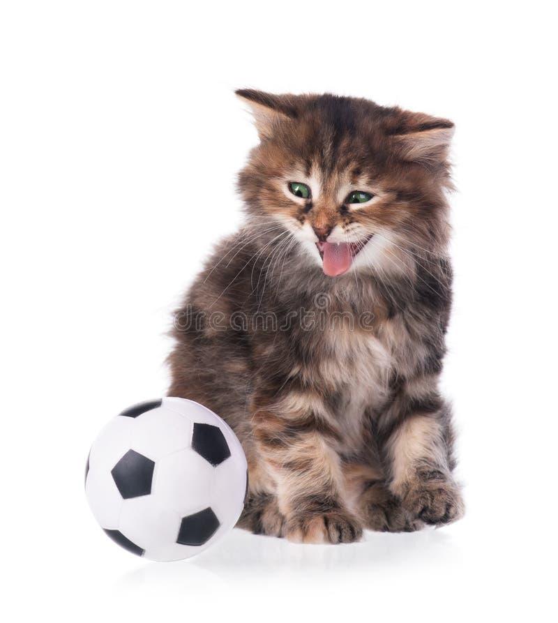 Gatito siberiano foto de archivo libre de regalías