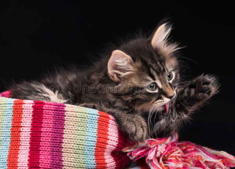 Gatito siberiano lindo fotos de archivo libres de regalías