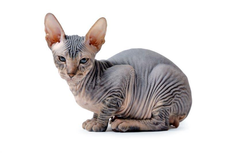 Gatito sin pelo fotografía de archivo libre de regalías
