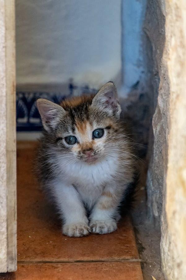 Gatito tímido del calicó de la concha imagen de archivo