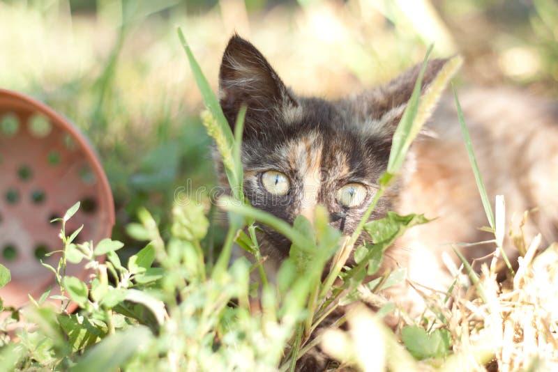 Gatito tricolor que miente en la hierba fotos de archivo
