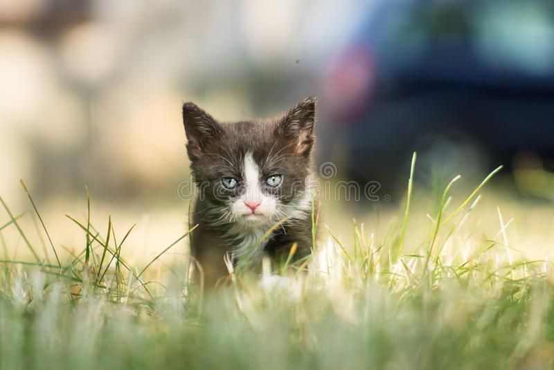Gatito triste gruñón blanco y negro imagen de archivo