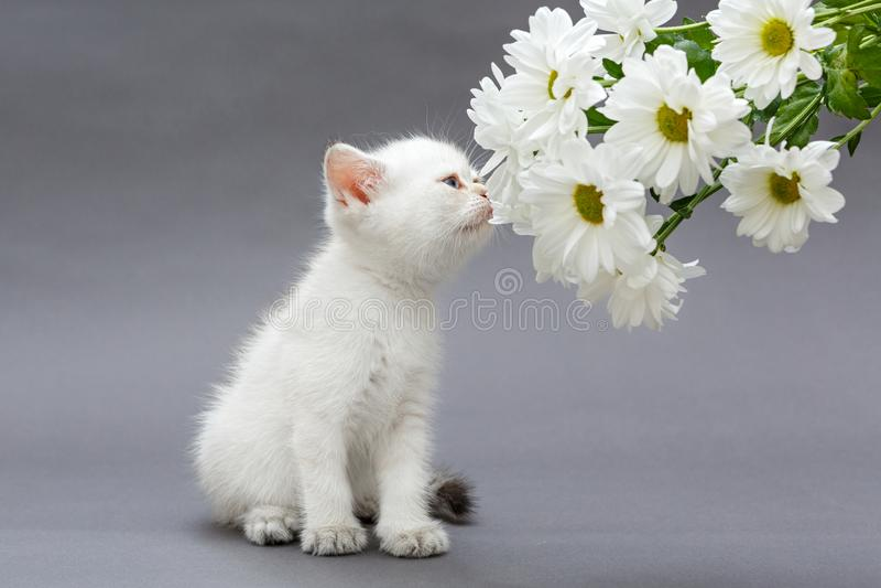 Gatito y margaritas británicos blancos imagen de archivo libre de regalías