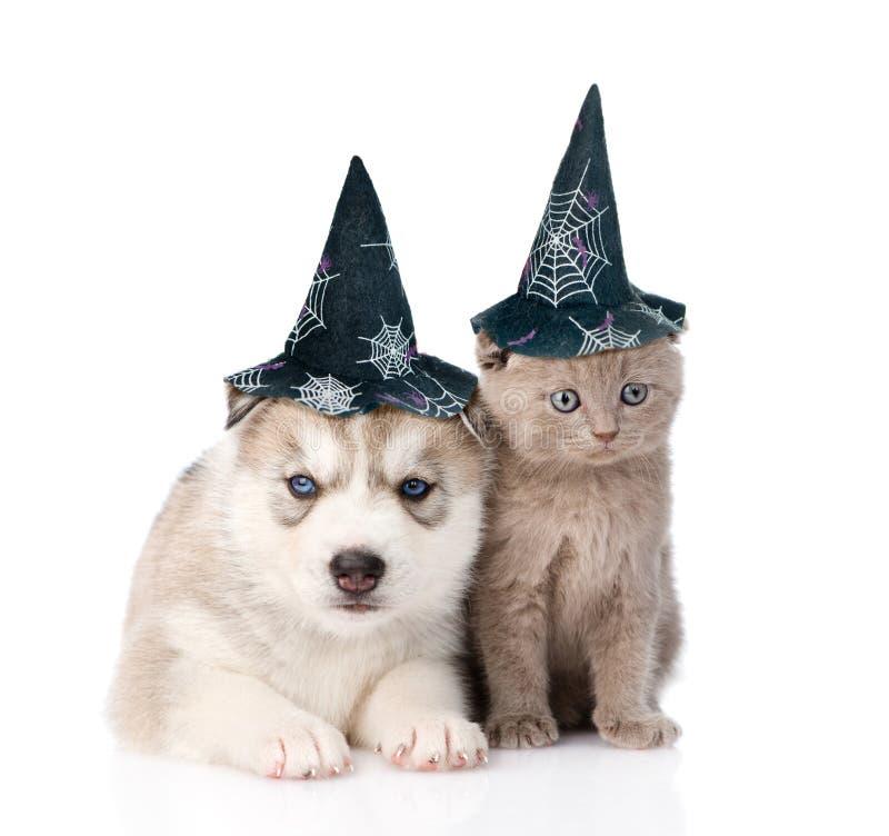 Gatito y perrito escoceses del husky siberiano con el sombrero para Halloween fotografía de archivo libre de regalías