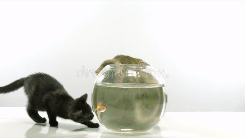 Gatito y pez de colores metrajes. Imagen de color, anticipe - 65793990