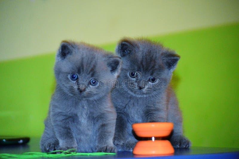 gatitos aislados gris mullido nacional británico del gato imagen de archivo