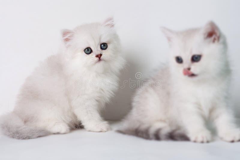 Gatitos británicos del shorthair fotografía de archivo libre de regalías