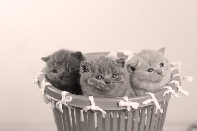 Gatitos en la pequeña cesta, opinión del primer foto de archivo