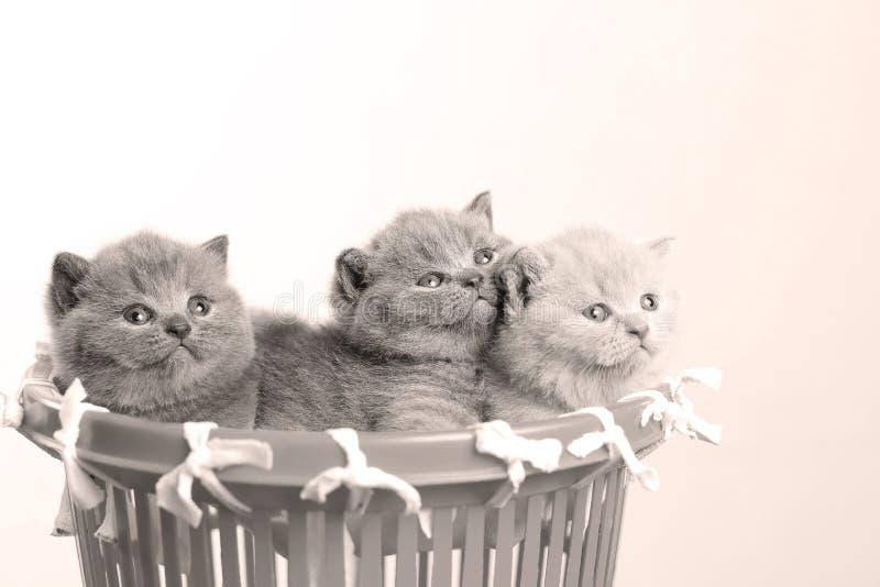 Gatitos en la pequeña cesta, opinión del primer imagenes de archivo