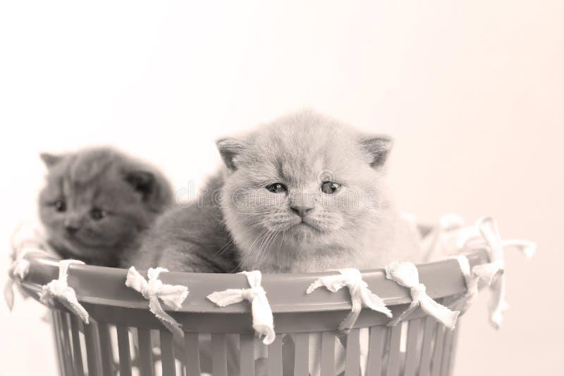 Gatitos en la pequeña cesta, opinión del primer foto de archivo libre de regalías