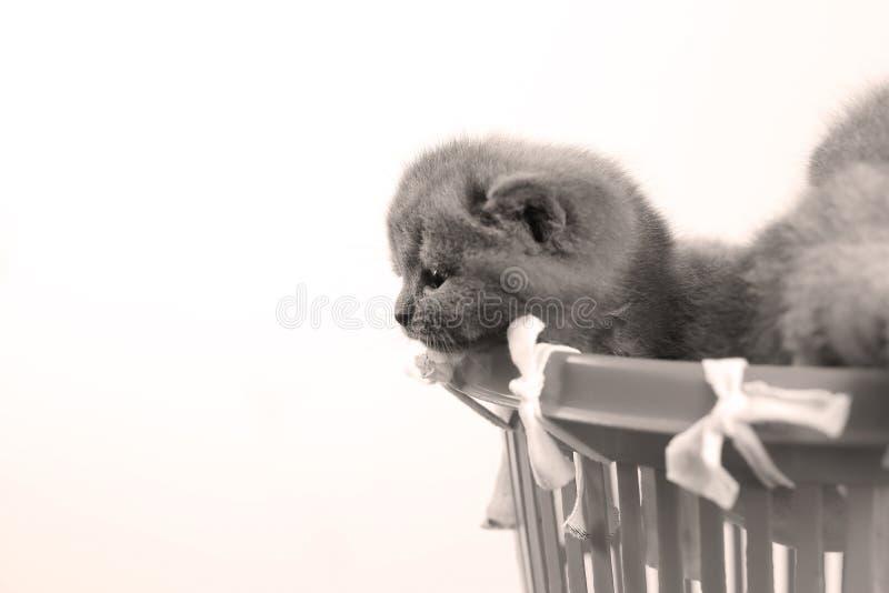 Gatitos en la pequeña cesta, opinión del primer imagen de archivo libre de regalías