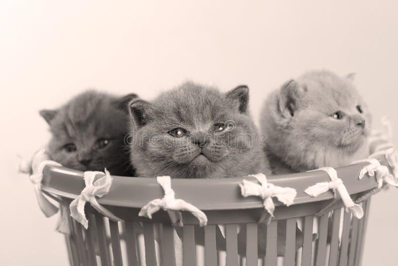 Gatitos en la pequeña cesta plástica, opinión del primer imágenes de archivo libres de regalías
