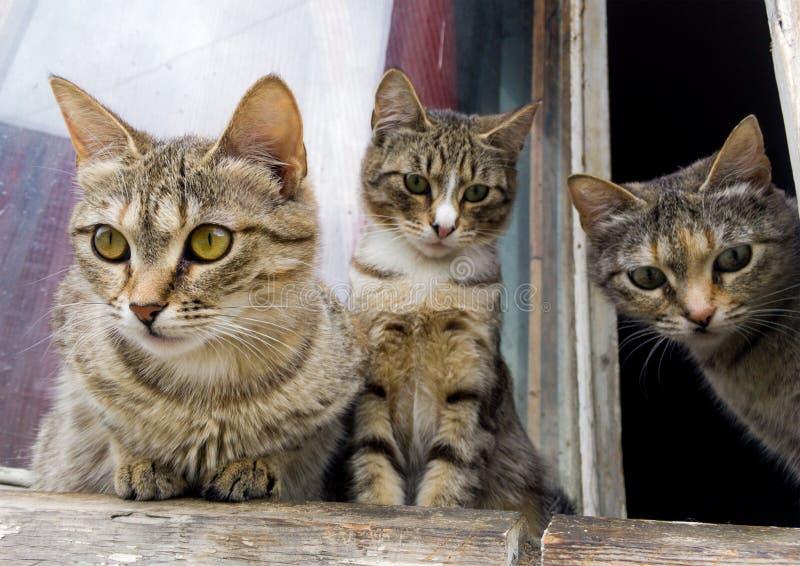 Gatitos grises curiosos que miran a escondidas hacia fuera la ventana fotos de archivo