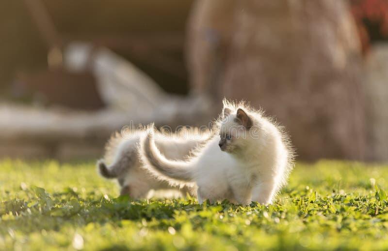 Gatitos lindos que juegan en la hierba fotografía de archivo