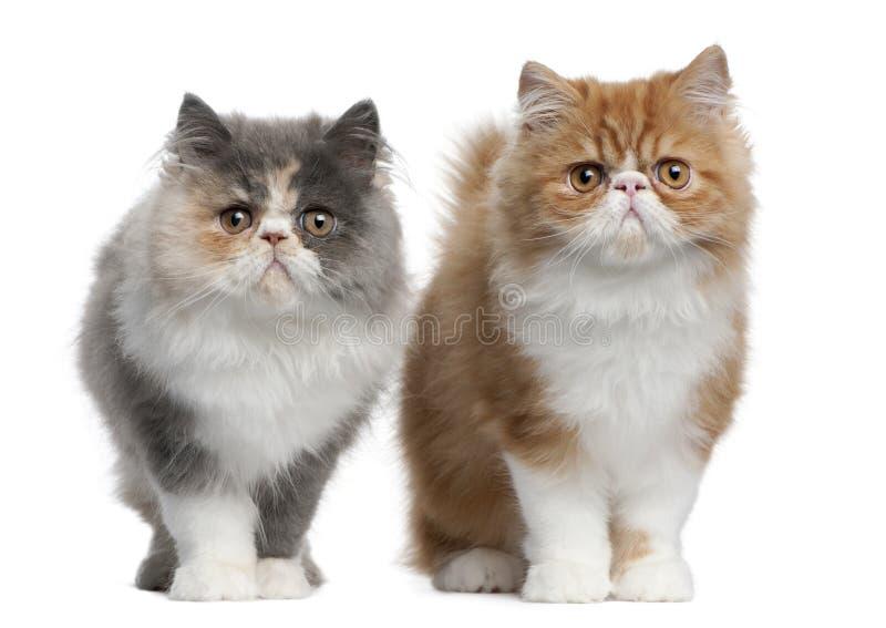 Gatitos persas, 3 meses, colocándose fotografía de archivo libre de regalías